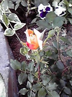 花咲き二番手♪