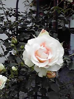 わたくしの薔薇紹介♪