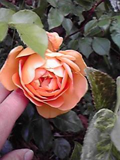 我が家の薔薇紹介2♪