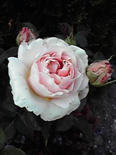 我が家の薔薇紹介3♪