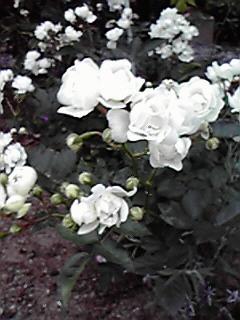 うちの薔薇紹介♪4